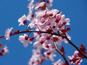almond-blossom-5378_640.jpg